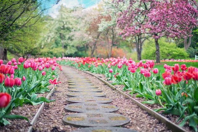 záhon s tulipány v přírodě