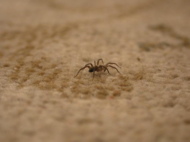pavouk na koberci