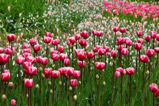 Záhon růžových tulipánů